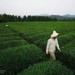 خرید چای ایرانی با کیفیت